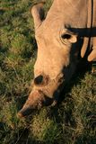 Ritratto del rinoceronte bianco da sopra con erba verde immagine stock libera da diritti