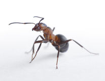 Ritratto del rufa del formica della formica Fotografia Stock Libera da Diritti