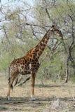 Ritratto del ` s della giraffa nella savanna Immagini Stock Libere da Diritti