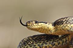 Ritratto del serpente di Blotched fotografia stock