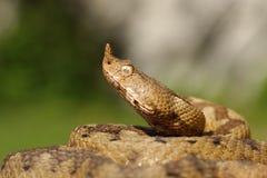 Ritratto del serpente velenoso aggressivo fotografia stock libera da diritti
