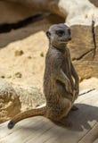 Ritratto del suricatta del Suricata di Meerkat che sta nella posizione tipica Fotografie Stock Libere da Diritti