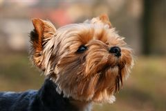 Ritratto del Terrier Fotografie Stock Libere da Diritti