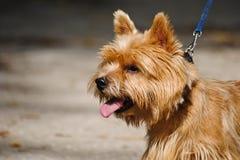 Ritratto del terrier di Norwich Fotografie Stock Libere da Diritti