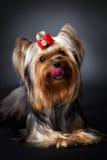 Ritratto del terrier di Yorkshire Fotografia Stock Libera da Diritti