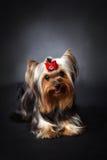 Ritratto del terrier di Yorkshire Immagini Stock