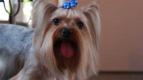 Ritratto del terrier di Yorkshire Arco blu sulla sua testa stock footage