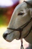 Ritratto del toro Fotografie Stock