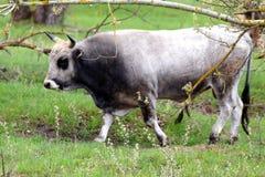Ritratto del toro con i corni l'ucraina Fotografia Stock Libera da Diritti
