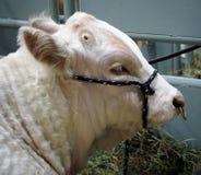 Ritratto del toro del charolais Fotografia Stock