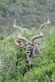Ritratto del toro di Kudu con i corni lunghi Immagini Stock Libere da Diritti