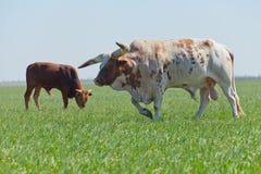 Ritratto del toro e del vitello con i bei e grandi corni Immagini Stock Libere da Diritti