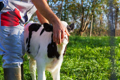 Ritratto del vitello che succhia il dito dell'agricoltore Fotografia Stock