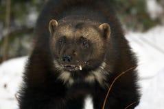 Ritratto del Wolverine fotografie stock libere da diritti