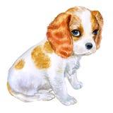 Ritratto dell'acquerello del cane sprezzante colorato Blenheim inglese della razza di re Charles Spaniel Immagine Stock