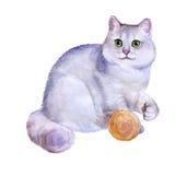 Ritratto dell'acquerello del gatto d'argento britannico dei peli di scarsità del cincillà su fondo bianco Animale domestico domes royalty illustrazione gratis