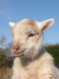 Ritratto dell'agnello Immagine Stock