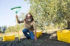 Ritratto dell'agricoltore felice con lo scaffale che raccoglie le olive Fotografie Stock Libere da Diritti
