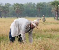 Ritratto dell'agricoltore vietnamita che lavora al riso Fotografie Stock Libere da Diritti