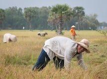 Ritratto dell'agricoltore vietnamita che lavora al riso Fotografia Stock Libera da Diritti