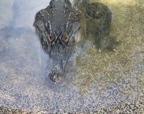Ritratto dell'alligatore Fotografia Stock Libera da Diritti