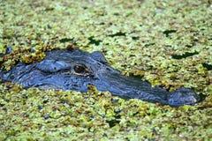 Ritratto dell'alligatore che galleggia in una palude Fotografia Stock