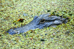 Ritratto dell'alligatore che galleggia in una palude Immagine Stock