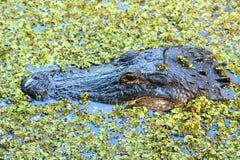 Ritratto dell'alligatore che galleggia in una palude Immagine Stock Libera da Diritti