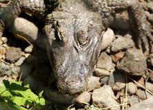 Ritratto dell'alligatore del coccodrillo Fotografia Stock