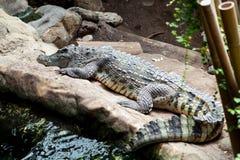 Ritratto dell'alligatore in reptilarium Fotografia Stock