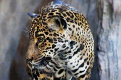 Ritratto dell'americano Jaguar fotografie stock