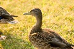 Duck Portrait Fotografia Stock Libera da Diritti