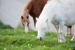 Ritratto dell'animale del cavallo dell'azienda agricola nella lan d'agricoltura rurale Fotografia Stock