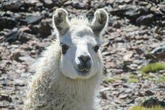 Ritratto dell'animale dell'alpaga Fotografia Stock Libera da Diritti