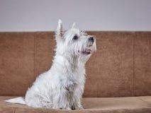 Ritratto dell'animale domestico del cucciolo West Highland Terrier bianco che si trova sullo strato fotografia stock