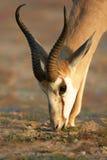 Ritratto dell'antilope saltante che si alimenta fogliame fresco fotografia stock