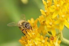 Ritratto dell'ape sui fiori gialli Fotografia Stock