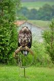 Ritratto dell'aquila marrone che esamina macchina fotografica Fotografia Stock Libera da Diritti