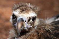 Ritratto dell'avvoltoio Cinereous Immagine Stock