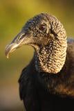 Ritratto dell'avvoltoio di Turchia Immagine Stock Libera da Diritti