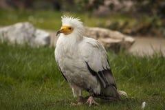 Avvoltoio egiziano immagini stock