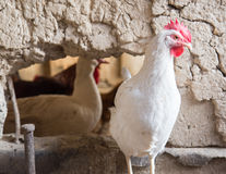 Ritratto dell'azienda agricola di pollo bianca Immagine Stock