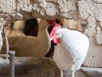Ritratto dell'azienda agricola di pollo bianca Immagine Stock Libera da Diritti