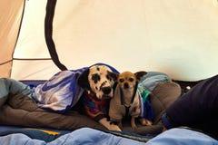 Ritratto dell'cani che riposa in una tenda dopo una giornata campale su all'aperto Immagine Stock Libera da Diritti