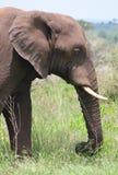 Ritratto dell'elefante africano Fotografia Stock