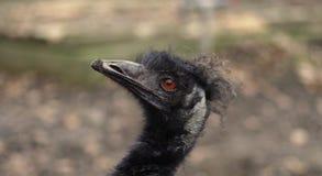 Ritratto dell'emù Immagini Stock