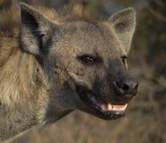 Ritratto dell'iena Immagini Stock