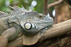 Ritratto dell'iguana fotografie stock libere da diritti