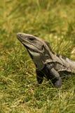 Ritratto dell'iguana Fotografie Stock