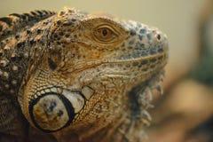 Ritratto dell'iguana Fotografia Stock